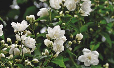 9 ไม้พุ่มเตี้ยดอกหอม ปลูกง่าย เลี้ยงแล้วสดชื่น มอบความร่มรื่นแก่บ้านเรือน
