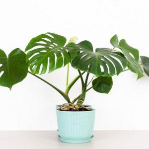 20 อันดับ ต้นด่างมอนสเตอร่า พันธุ์ไม้ประดับยอดนิยม ต้นสวยดึงดูดใจ