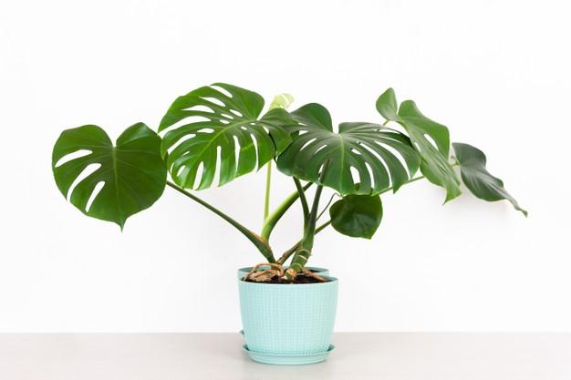 10 อันดับ ต้นด่างมอนสเตอร่า พันธุ์ไม้ประดับยอดนิยม ต้นสวยดึงดูดใจ ปี 2021