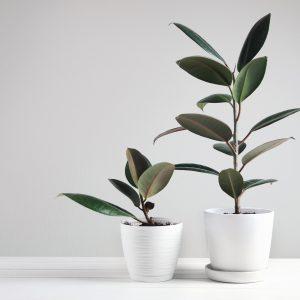 แนะนำ ต้นยางอินเดีย ต้นไม้สุดฮิต ยอดนิยม ราคาถูก