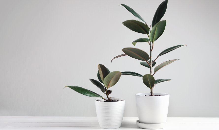 แนะนำ ต้นยางอินเดีย ต้นไม้สุดฮิต ยอดนิยม ราคาถูก ปี 2021